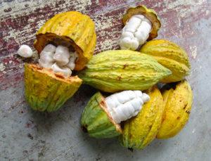 Kaakaopuun hedelmä ja kaakaopapuja